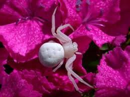 Паук на розовом фоне