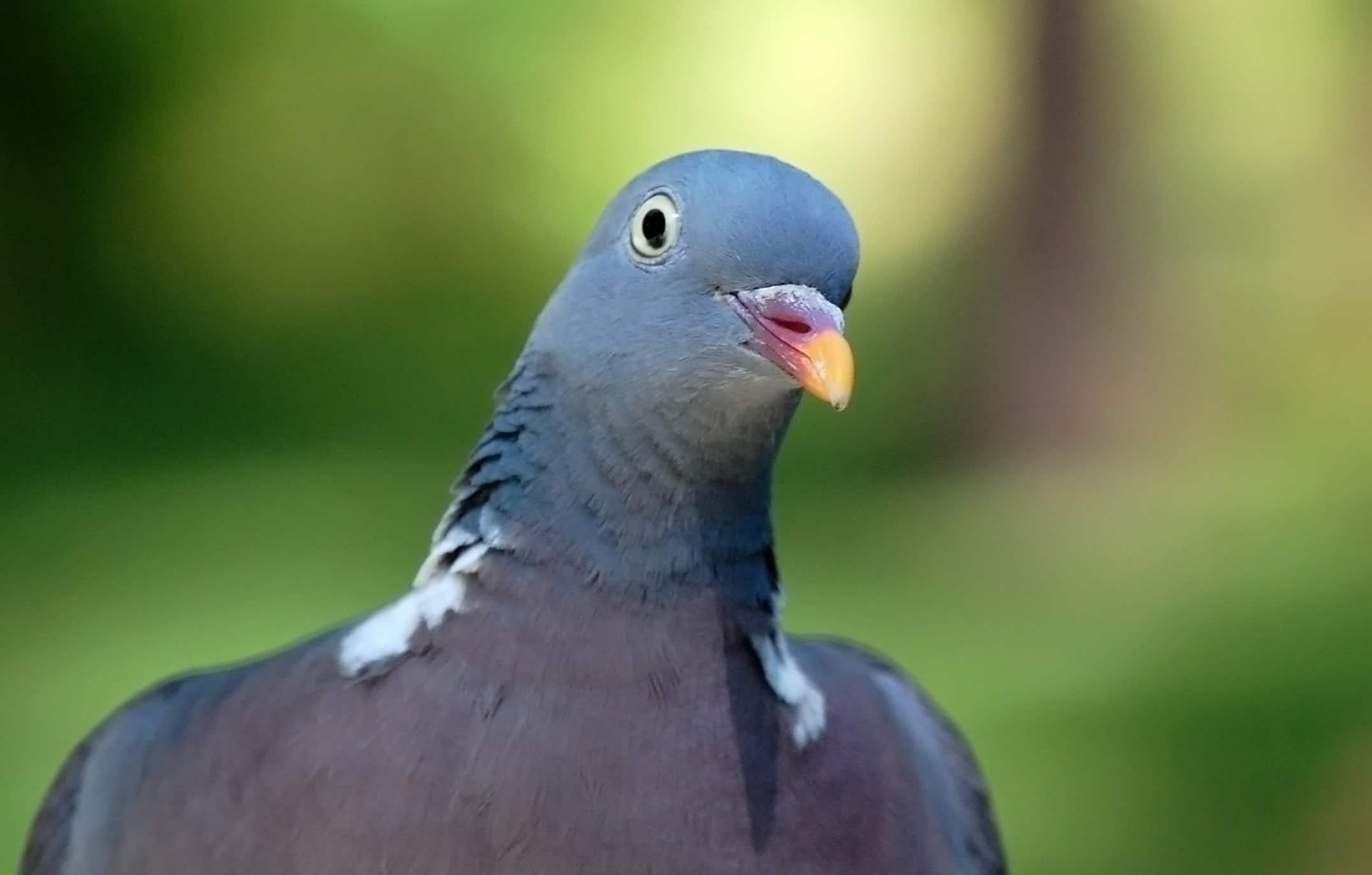 Темный голубь