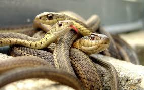 Несколько змей