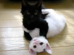 Черный и белый кот
