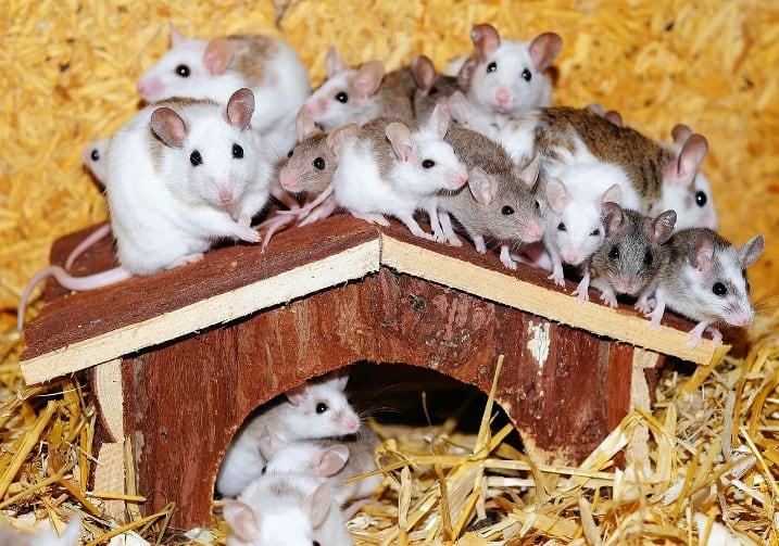 Несколько мышенков