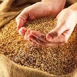 К чему снится зерно по соннику Миллера, Лонго, Фрейда