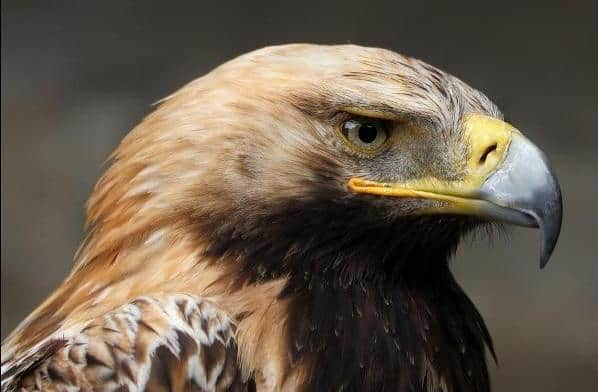 Темный орел