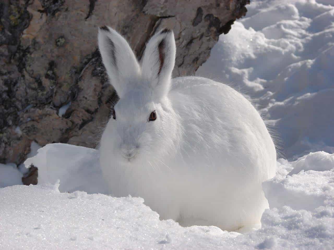 Заяц в снегу