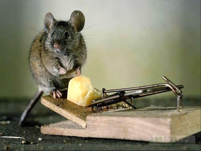 Сыр и мишка