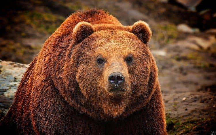 Большой ведмедь