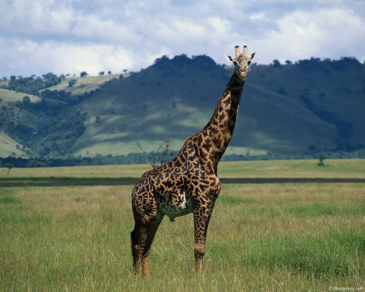 Жираф в поле