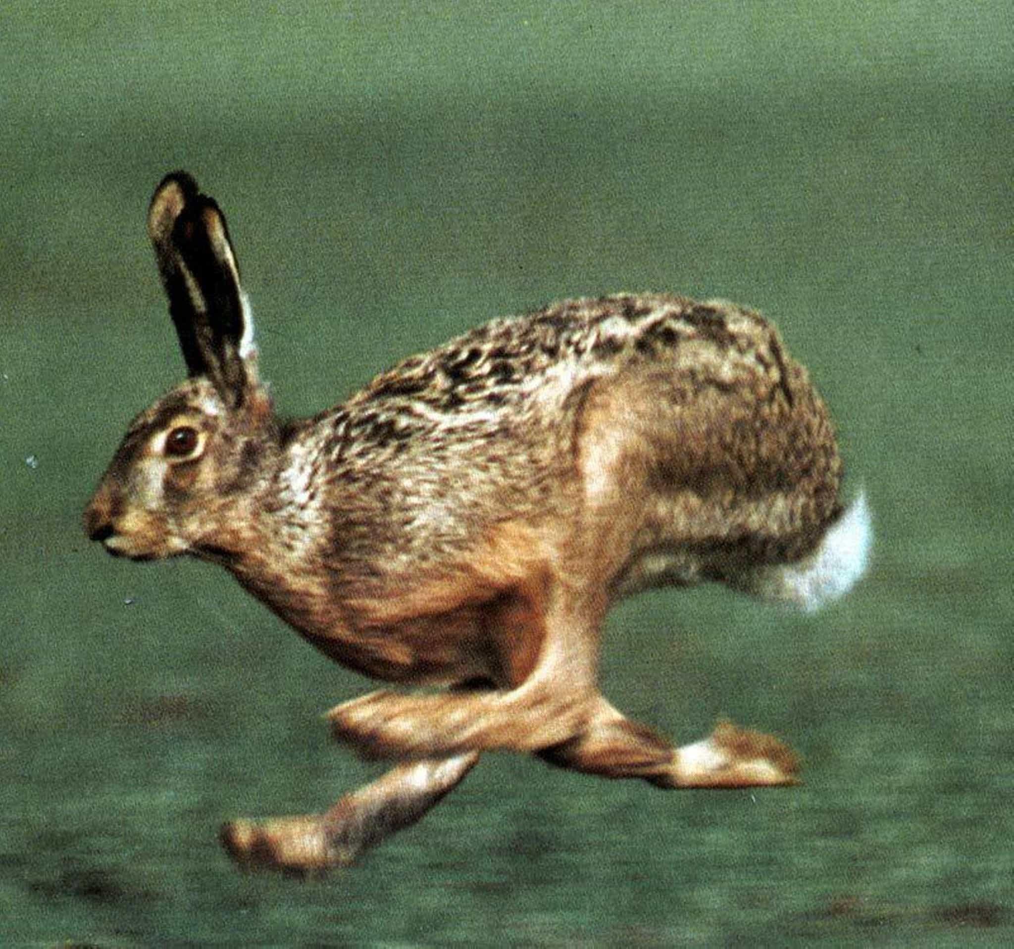 Бег зайца