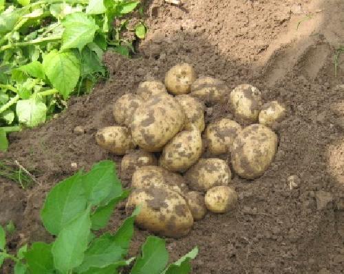 Картошка в земле