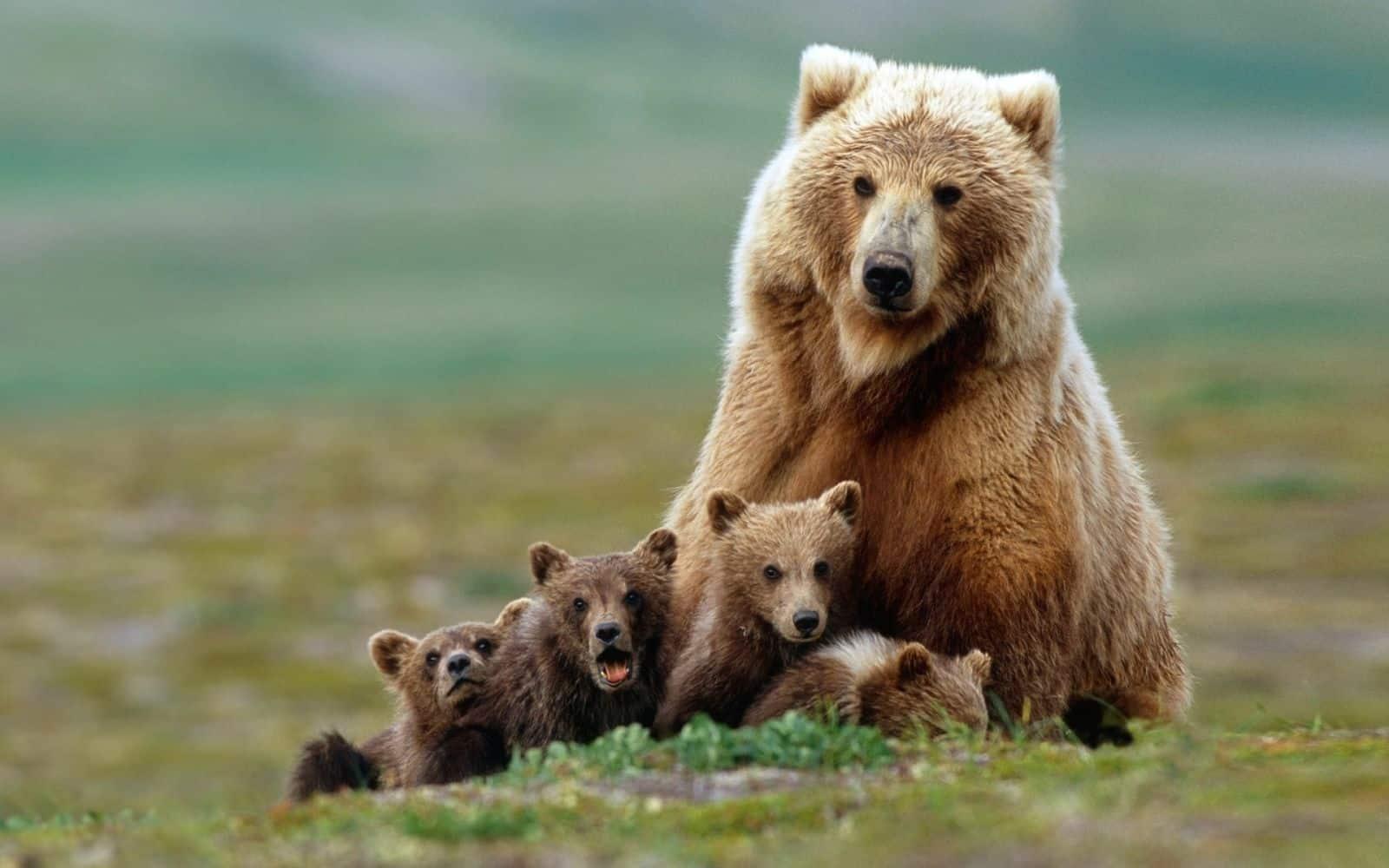 Семейство ведмедей