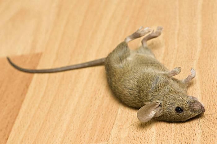 Мышь на полу
