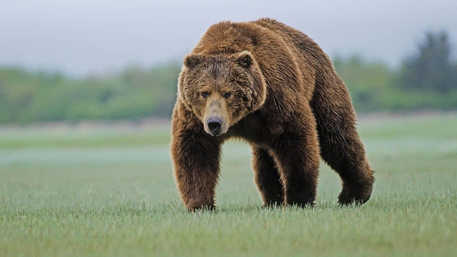 Медведь на прогулке