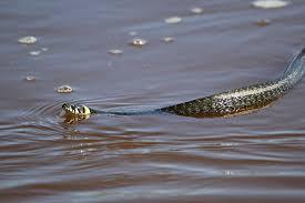 Змея вводе
