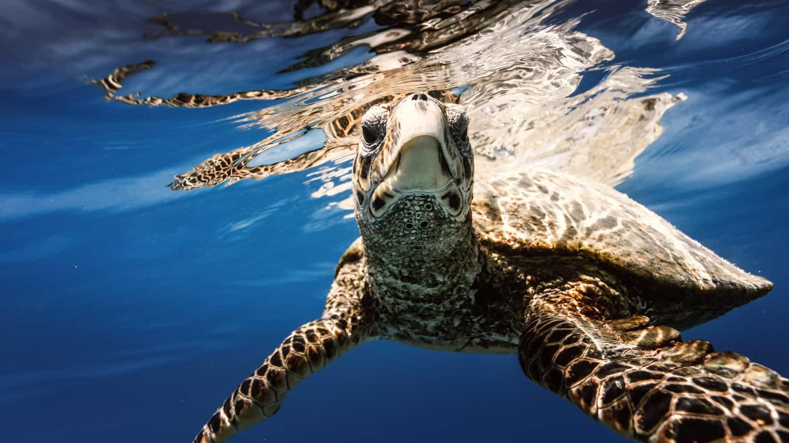 Плавающая черепаха