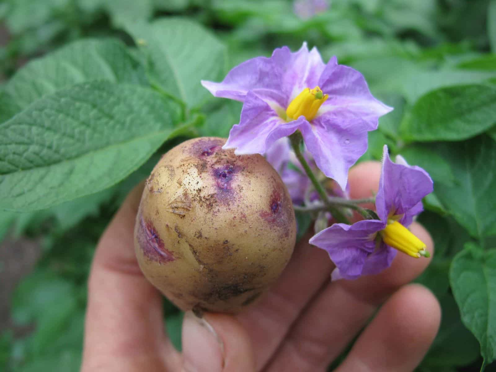 Картошка и цветок