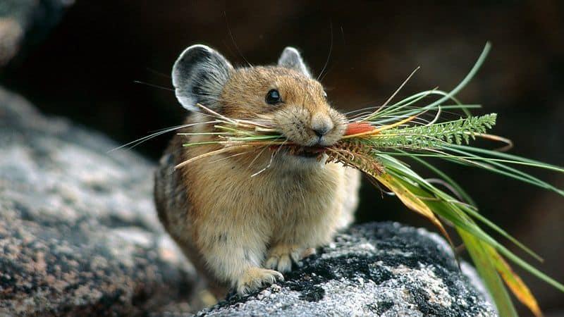 Мышь с едой