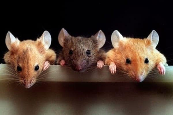 Три мышки