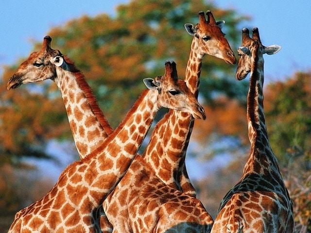 Несколько жирафов