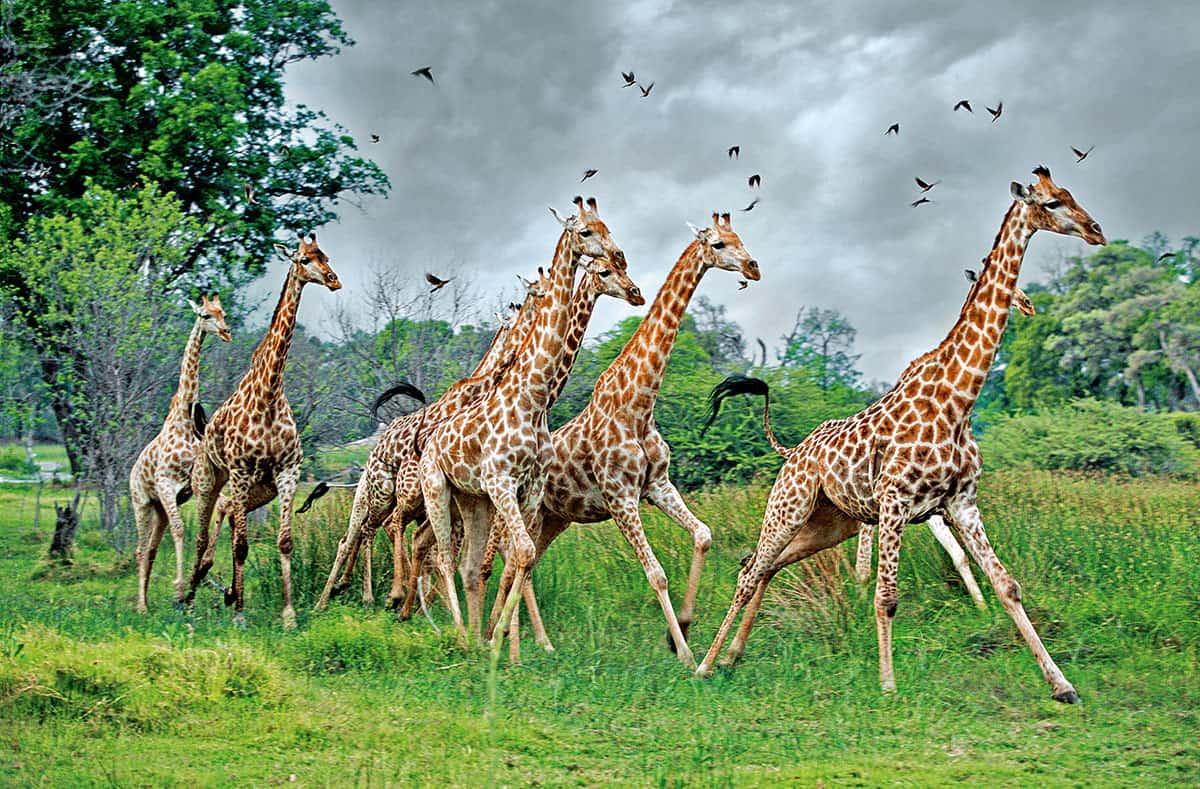 Жирафы бегают
