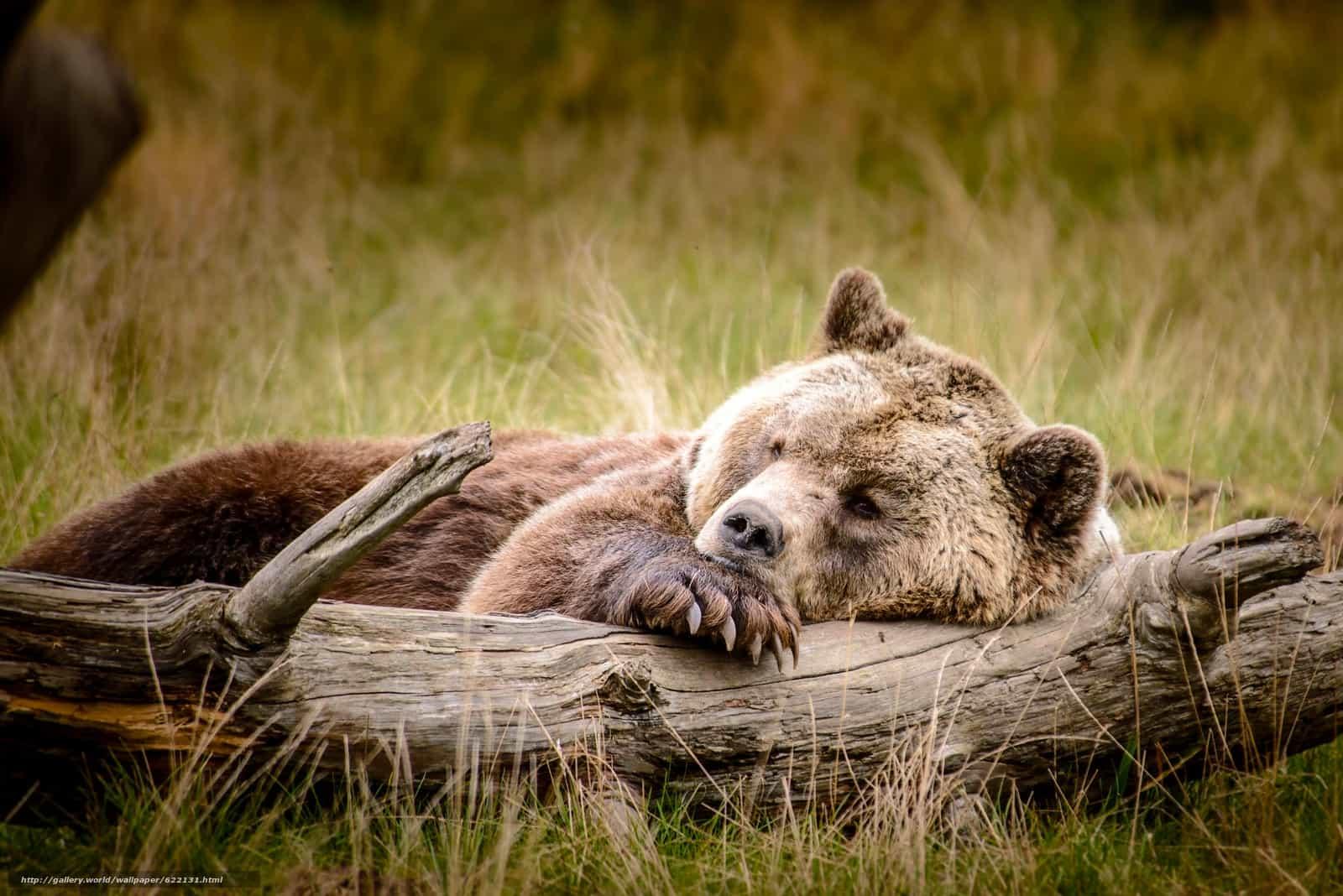 Медведь отдыхает