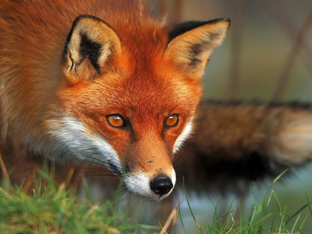 Почему приснилась лиса: как правильно толковать по сонникам