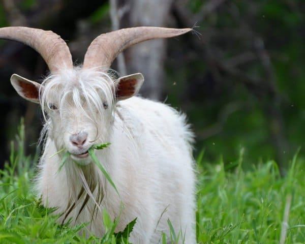 Белый козел