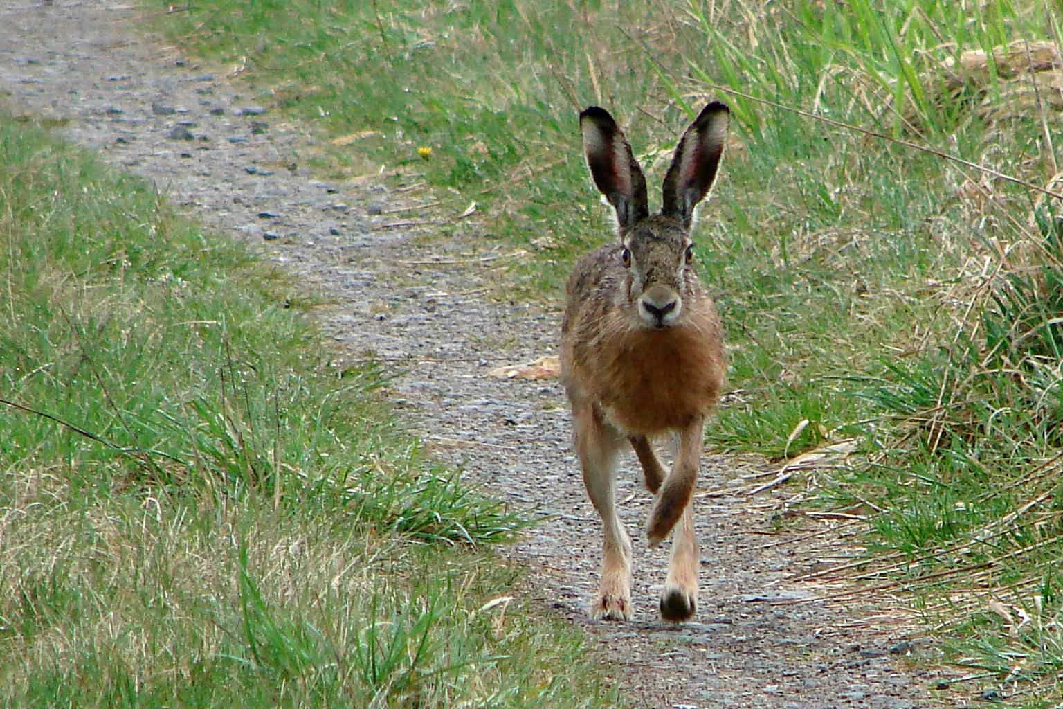 Заяц на тропе