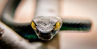 Змея с желтыми глазами