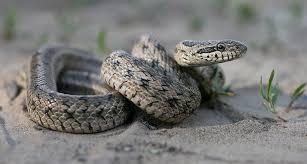 Змея на писке