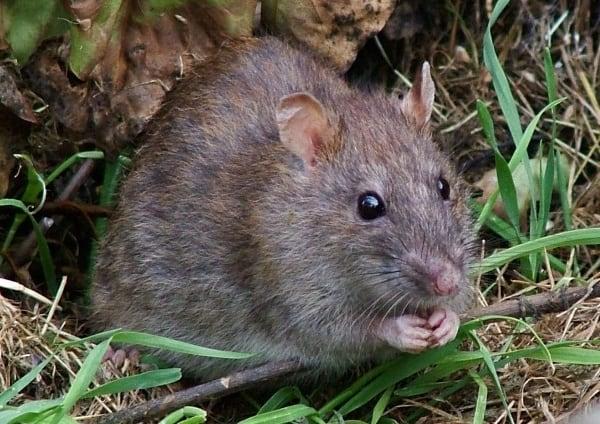 Крыса на траве