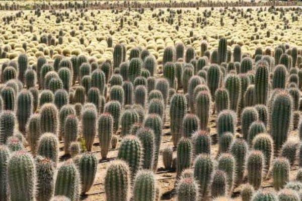 Приснился кактус — как правильно толковать по сонникам