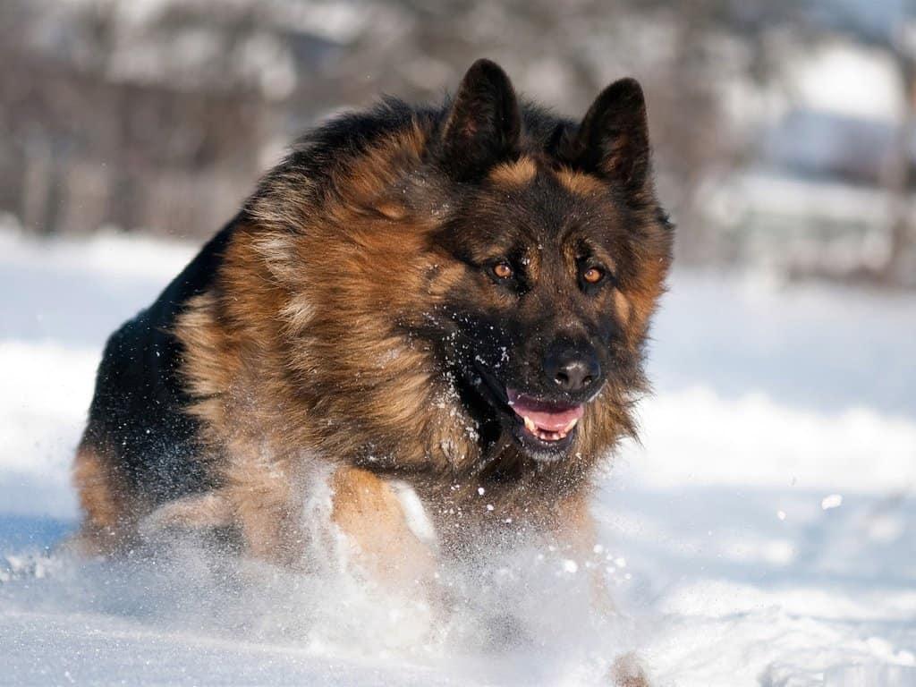 Овчарка в снегу