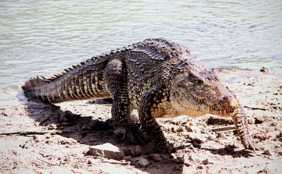 Крокодил из воды