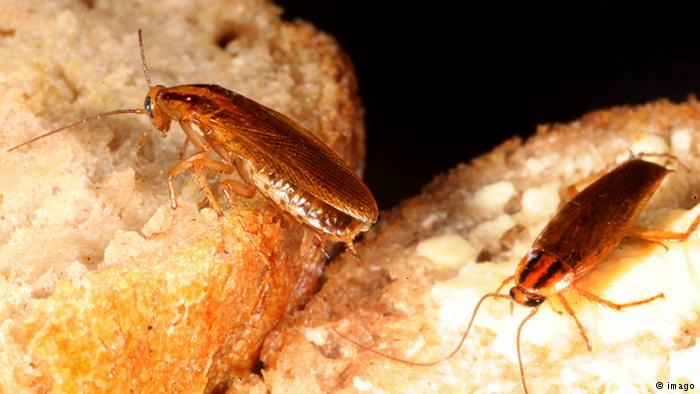 Тараканы на еде