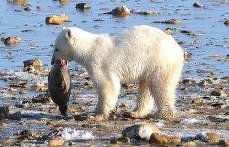 Медведь кушает рыбу