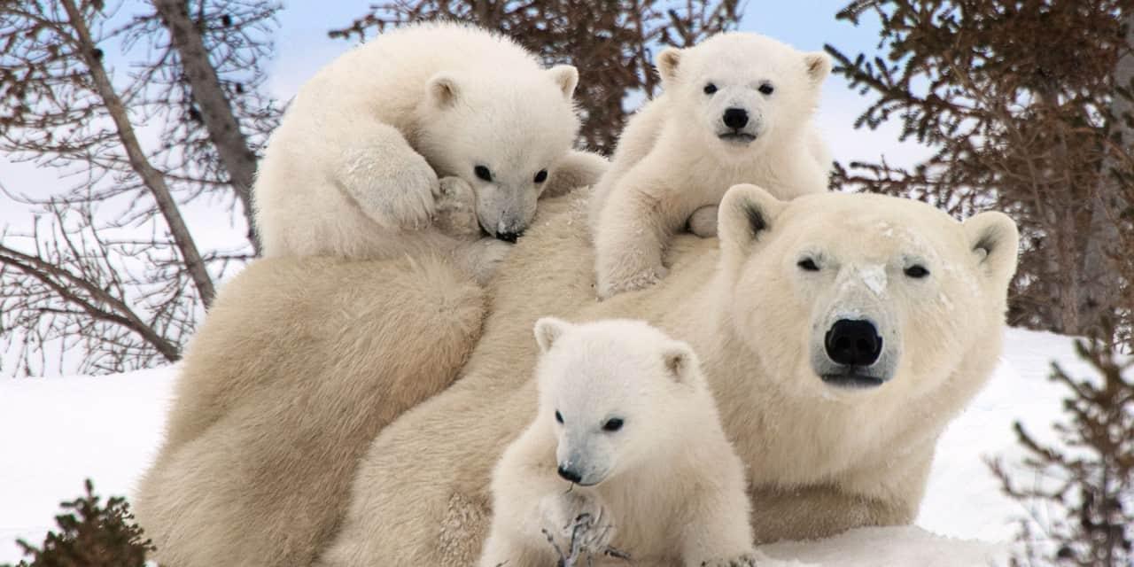 Стая белых медведей