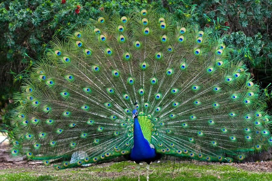 Павлин с перьями