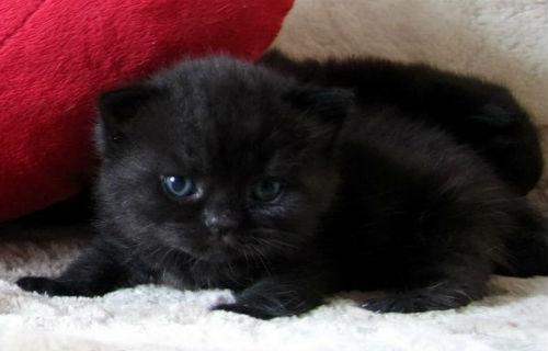 Какое будущее предрекает сон про чёрных котят — особенности толкования