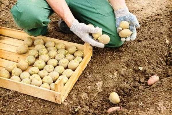 Сортировка картошки