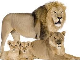 Лев для женщины — предсказание популярных сонников