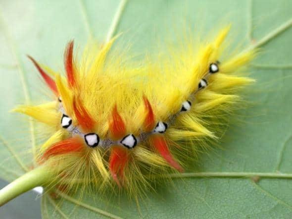 Желтая гусеница