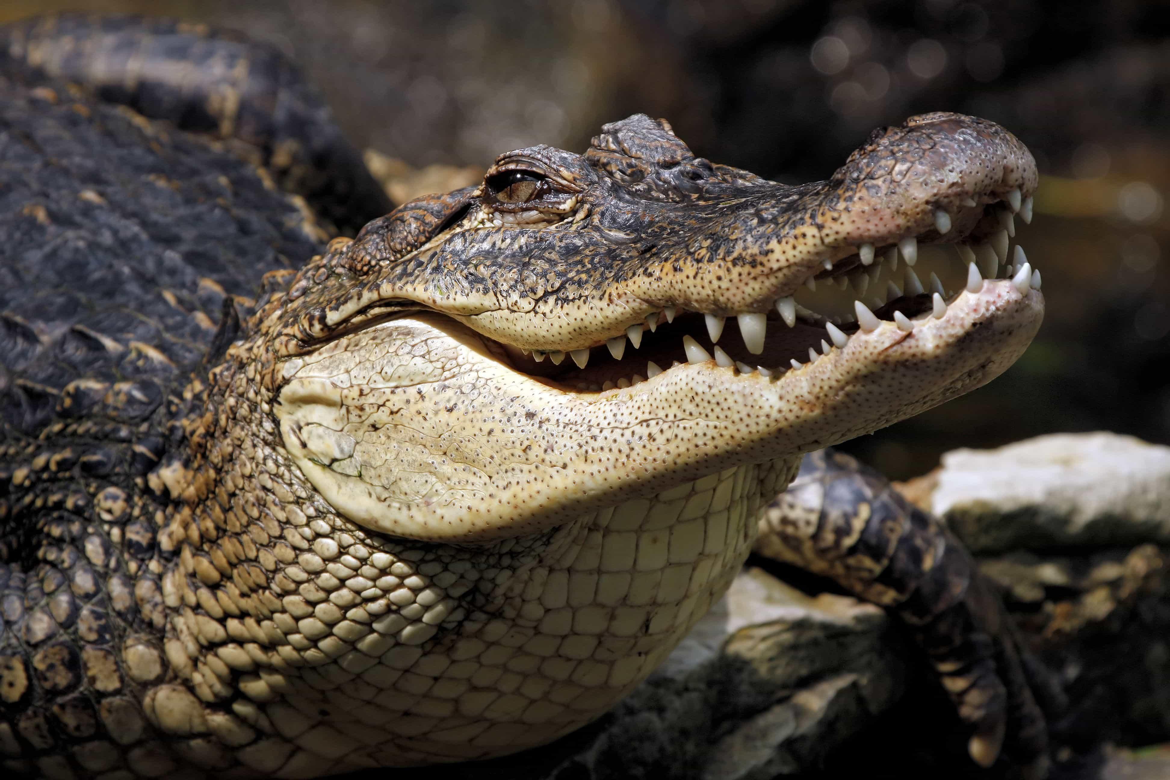 Крокодил вблизи