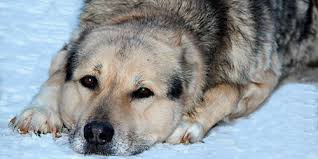 Светлая собака