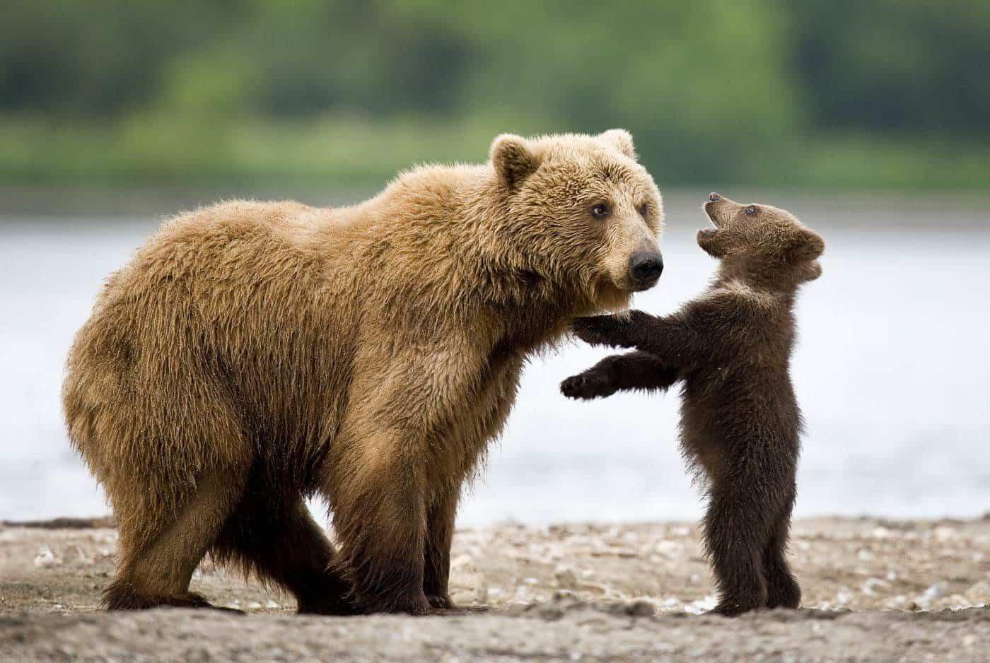 Медведь с малышом