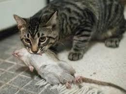 Кот тащит крысу