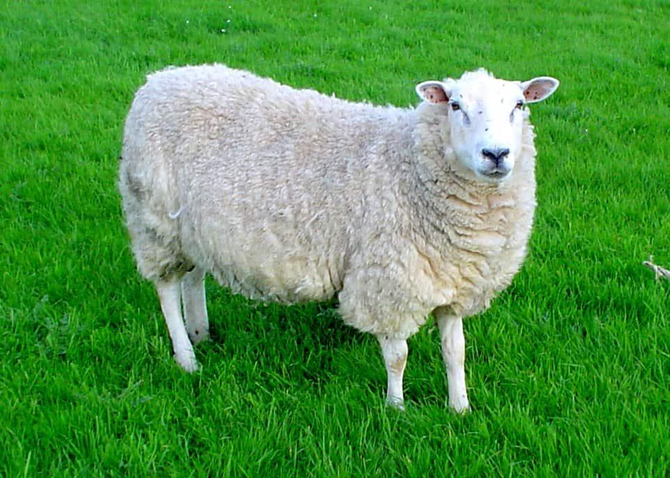 Овца на травке