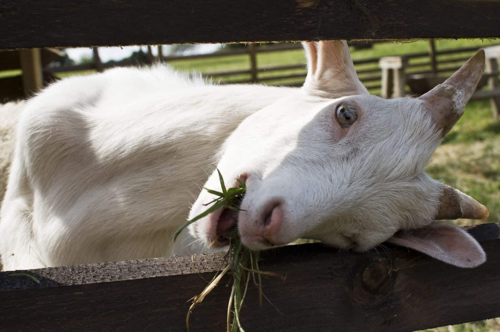 Коза жует траву
