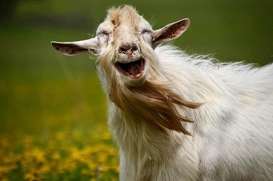 Орущая коза
