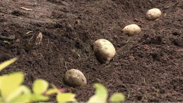 Картофель в грядке