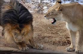 Злая львица